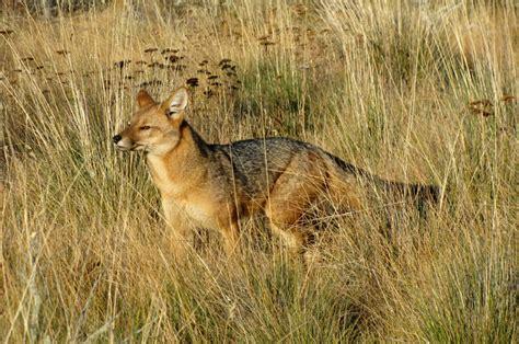 imagenes de paisajes con zorros conservacion patagonica ecolog 237 a