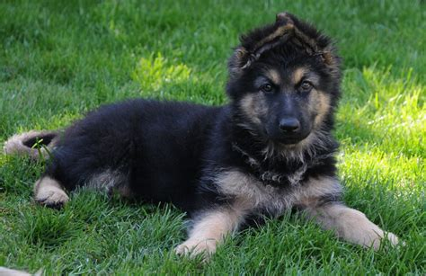 shepherd puppies for sale jandavita german shepherds puppies for sale york pets4homes
