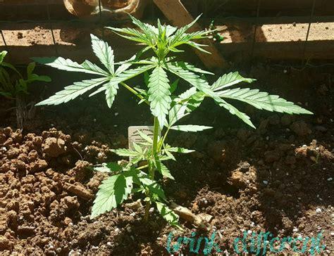 Culture Des Plantes by Conseils Pour La Culture Des Plantes De Cannabis