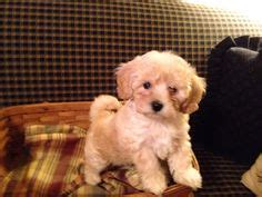poovanese puppies for sale 1000 images about havapoo poovanese adorable on puppies for sale