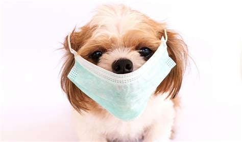 why do dogs cough heartworms in dogs coughing puppy