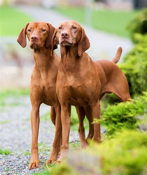how much are vizsla puppies 25 best ideas about hungarian vizsla on vizsla puppies vizsla and vizsla