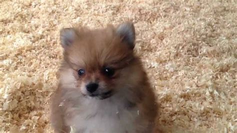 cheap pomeranian puppies for sale in 200 pomeranian puppies for sale breeds picture