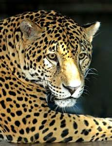 Jaguars Moving To Lebron The Jaguar Moving To Louisville Zoo