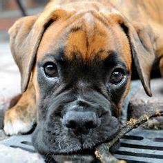 boxer husky mix puppies for sale boxer husky mix puppies for sale puppies