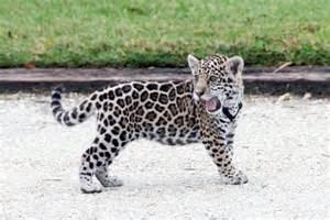 Jaguar Cats For Sale Jaguar Cub Cheetah Cub Ocelot Kitten Serval Cub For