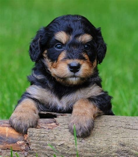 bernedoodle puppies california bernedoodle puppies awww bernedoodles poodles puppys and minis