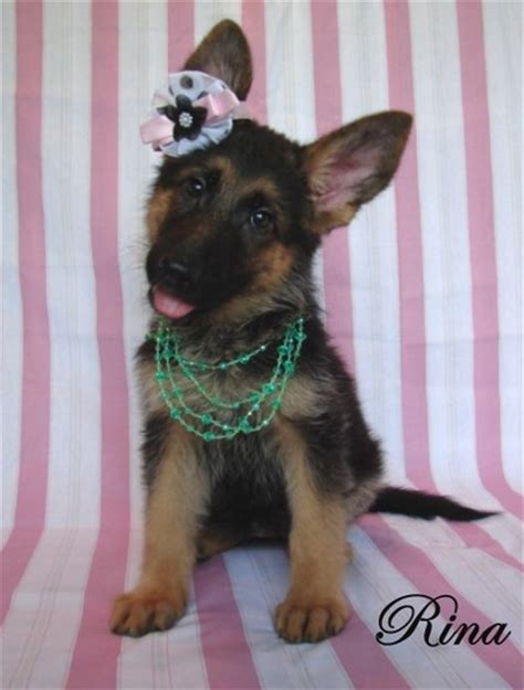 german shepherd puppies for sale in san antonio fenwald s elite german shepherds home