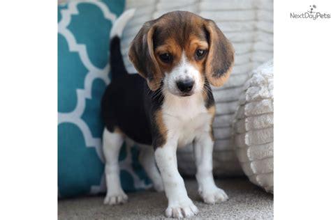 beagle puppies near me beagle puppy for sale near southeast missouri missouri fac9642c 2781