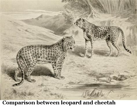jaguar vs cheetah cheetah vs leopard vs jaguar vs www pixshark