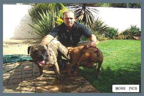 redboy jocko pitbull puppies for sale jeep