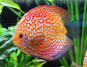 pet care information fish freshwater fish guarantee freshwater fish
