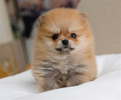 tiniest tiny micro teacup pomeranian puppy image gallery micro puppies