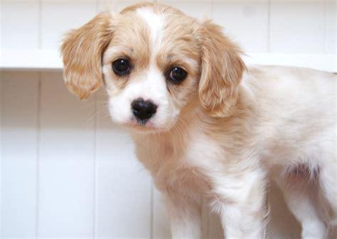 shih tzu x cavalier cavalier x maltese shih tzu cottage canines australia
