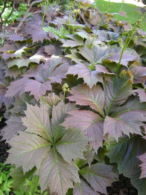 Plant Foliage - rodgersia botanics stories