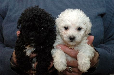 black maltipoo puppies basic grooming guide haircut styles for maltipoo dogs
