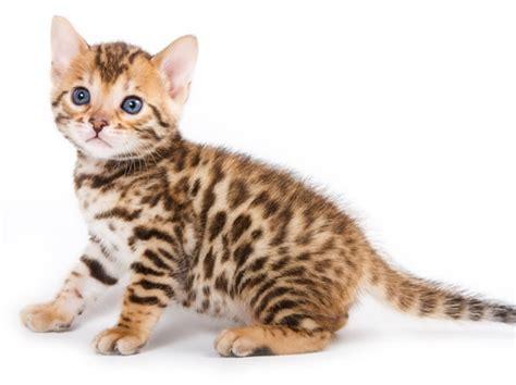 imagenes impresionantes de gatos informaci 243 n sobre el gato informacion sobre animales