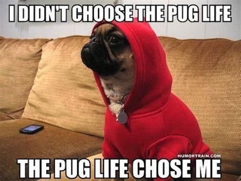 pug gangster meme    didnt choose  thug life