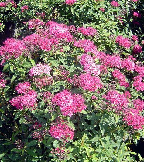 195 best fantastic flowering shrubs images on pinterest