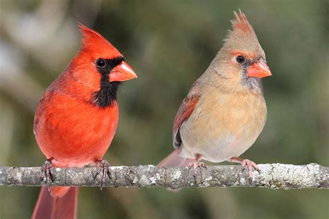 what color are cardinals featured birds northern cardinals