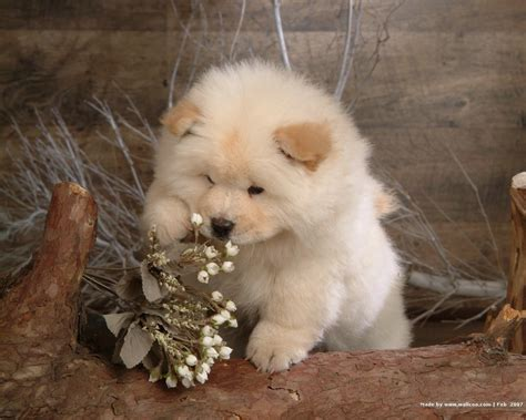 chow puppies chow chow wallpapers wallpaper cave