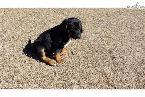catahoula puppies for sale near me catahoula leopard puppy for sale near mobile alabama 17aa6105 d021