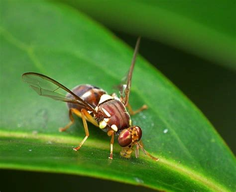 fruit fly auckland free of queensland fruit fly ourauckland
