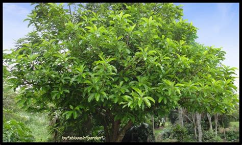elephant fruit tree elephant apple tropical edible fruit tree 1 plant ebay