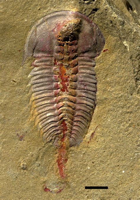 Fossil New early trilobites had stomachs new fossil study finds