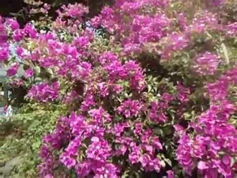 Bibit Bunga Warna Warni bunga kertas warna warni