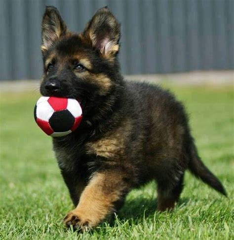 german sheppard puppy 12 important reasons to never own german shepherds
