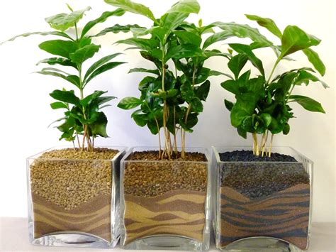 inner growth 187 blog archive 187 how to take care of your coffea arabica plant