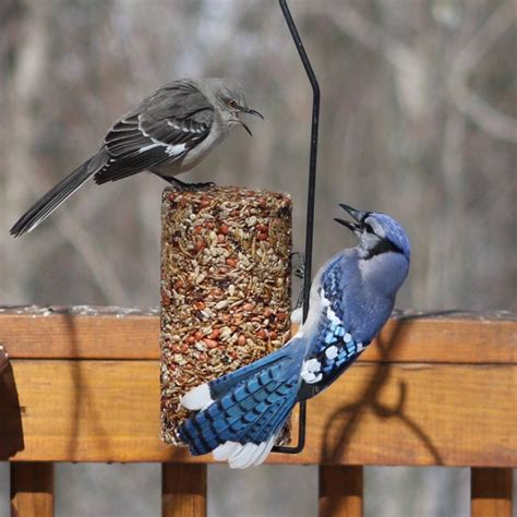 mocking bird and bluejay fighting over food feederwatch