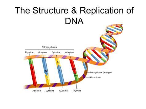 dna replication diagram basics of dna replication