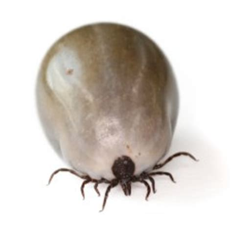how to kill dog ticks in the house ticks control how to kill get rid of tick in house pestmall blog