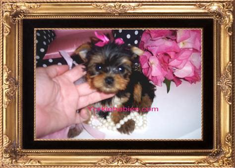 teacup yorkie breeders in md teacup terrier puppies for sale in maryland