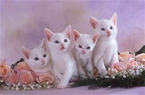 foto di gatti persiani bianchi micetti bianchi mici miao il gatto foto di gatti e