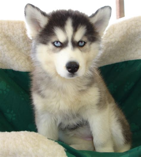 puppy breeders in nj siberian husky puppies for sale new jersey breeders puppy litle pups