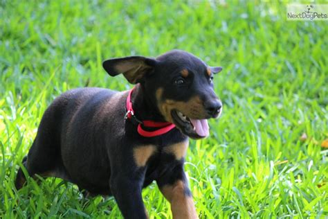 doberman puppies for sale in sc miniature doberman puppies