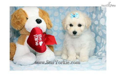 maltipoo puppies for sale los angeles los angeles dogs for sale puppies cats kittens pets for sale backpage