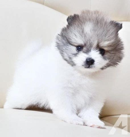 pomeranian california akc tea cup pomeranian puppies for sale in barstow california breeds picture