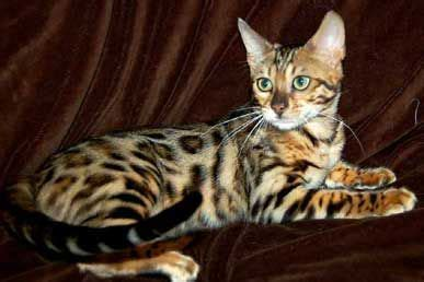Guess Bengale these semi domesticated leopard spotted cats are so pretty