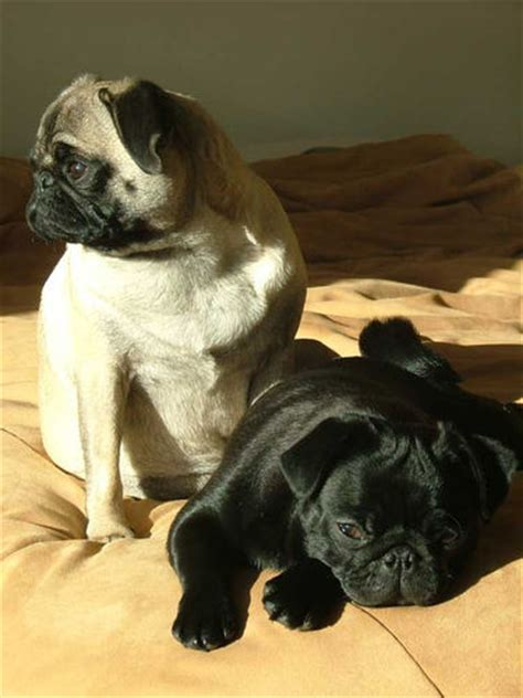 pugs club pugs images pug hd wallpaper and background photos 239503