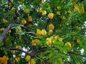 tropical fruit trees in florida sun tropical florida gardens
