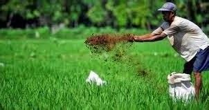 Pupuk Mkp Semprot komunitas tanaman pangan pupuk tanaman padi sawah panen