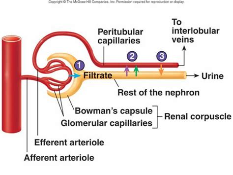 the first capillary bed associated with the nephron peritubular capillary bed