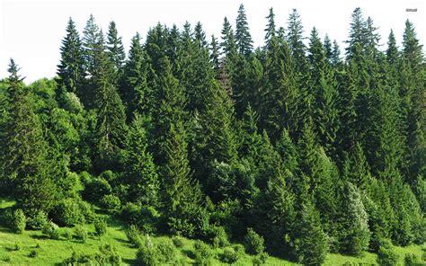 fir tree fir trees wallpaper 585582