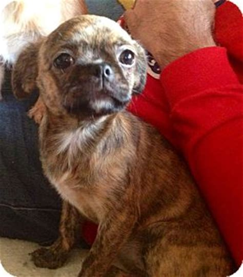 japanese pug andy adopted puppy st louis mo japanese chin pug mix