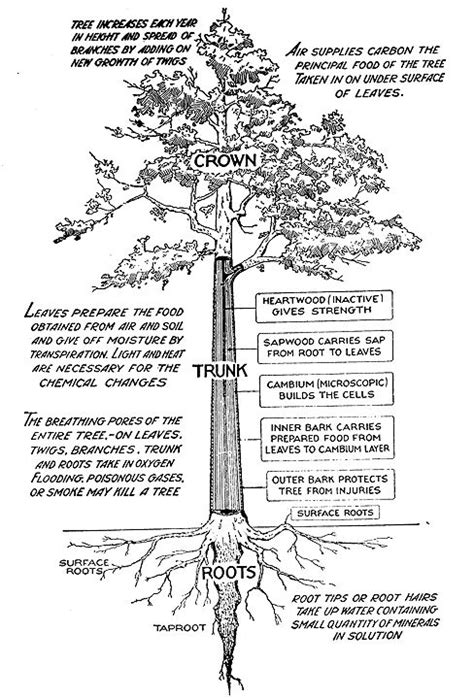 labeled tree diagram learn the basics of tree structure seasons trees and a tree