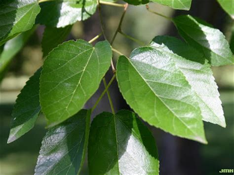 fruitless mulberry tree leaf bing images